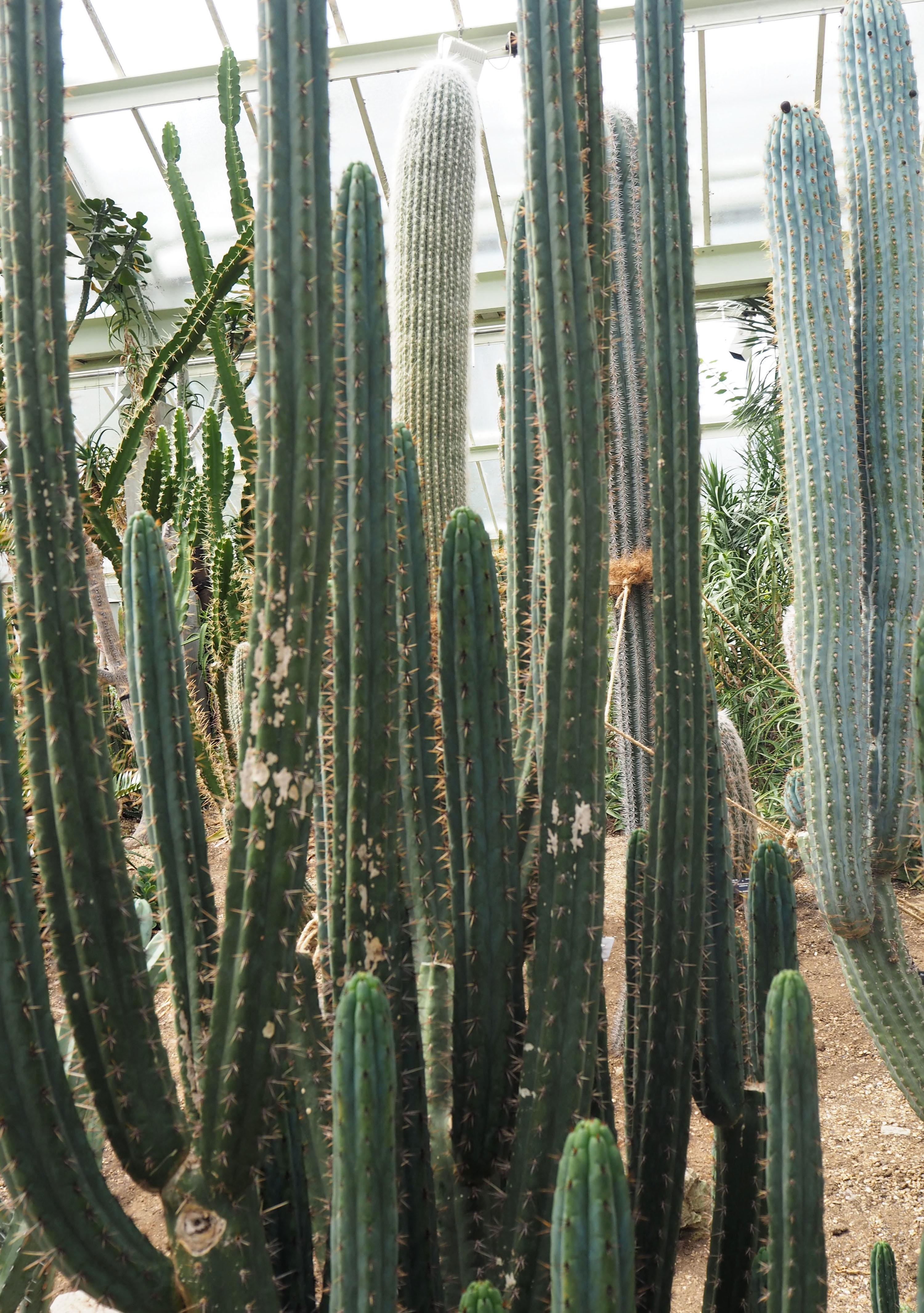 Kew Garden Cactus